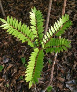 Eurycoma Longifolia Plant