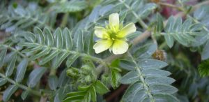 Tribulus Terrestris: Does It Affect Testosterone?